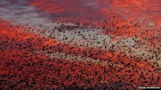 Starlings at sunset on Somerset Levels