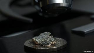Bellemerea alpina
