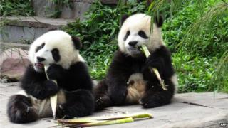 Two young pandas eating bamboo