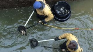 Fish being collected in nets by two men in a canal