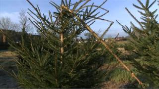 Damaged Christmas tree at Dunnington
