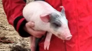 Piglet rescued from sea