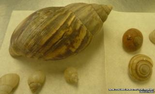 The giant snail and its eggs