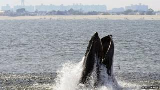 Humpback whale lunge feeding off NYC's Rockaway Peninsula with skyline in background.
