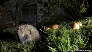 Hedgehog grazing