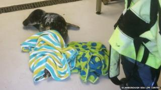 Seal pup delivered to rescue centre in Scarborough