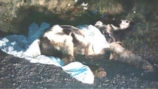 Collapsed horse