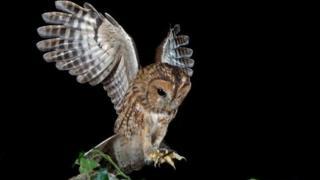 Tawny owl (generic)