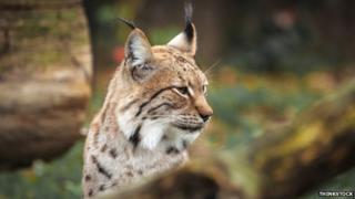 Eurasion Lynx