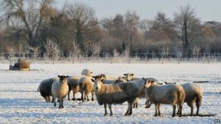 Sheep in a field in Hatton, Derbyshire, on 29 December