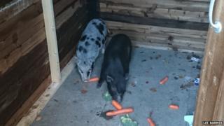 Letchworth pigs