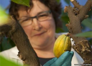 A cocoa bean in the facility (Image: University of Reading)