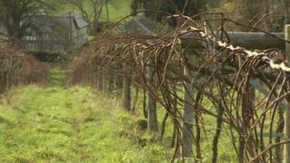 Vines in Wales