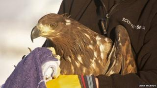 Kellan the sea eagle