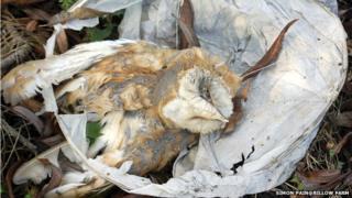 Dead barn owl entangled in discarded lantern