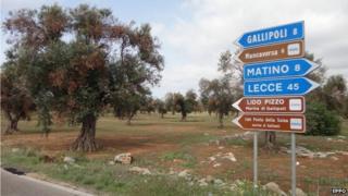 Affected olive tree (Image courtesy of EPPO/D. Boscia, Istituto di Virologia Vegetale del CNR, Bari/F. Nigro, Università degli Studi di Bari/A. Guario, Plant Protection Service, Regione Puglia)