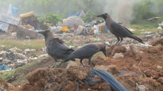 Crows at a rubbish dump in Mombasa