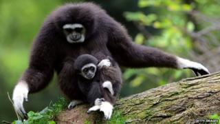 Gibbon mother and baby
