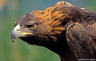 Golden eagle (stock image)