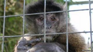Daisy, the capuchin monkey