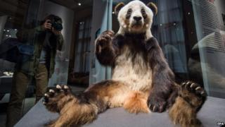 A photographer takes a picture of a preserved panda bear in a display box at Berlin's Museum fur Naturkunde.