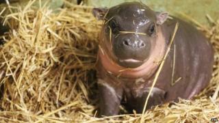 Baby pygmy hippo, Whipsnade