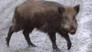 Library image of a wild boar (Image: PA)