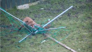 Trapped fox