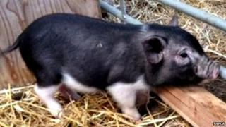 Abandoned micro pig