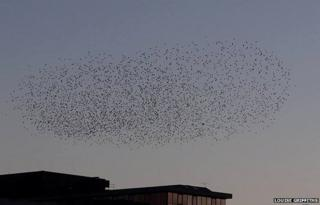 Starling murmuration in Norwich