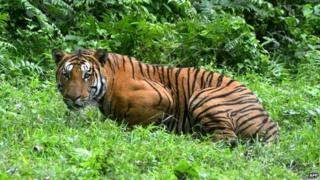 A Royal Bengal Tiger pauses in a jungle clearing in Kaziranga National Park, east of Guwahati, India - 21 December 2014