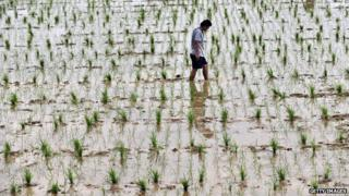 Man inspecting water-logged GM crops
