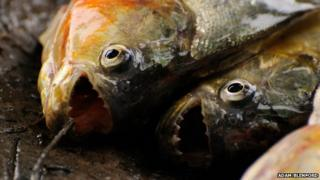 Piranhas have razor-sharp teeth, although attacks on humans are extremely rare (file pic)