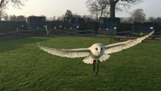 Molly, a rescue barn owl