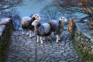 Herdwick sheep on bridge