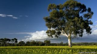 Field of Rape or Canola (Brassica napus) in flower and Eucalyptus tree, near York, western Australia (2010)