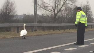 Swan on M6 Toll