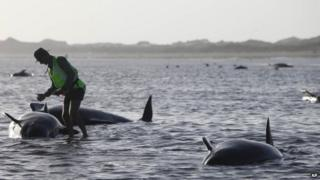 A Department of Conservation worker tends to a whale stranded on Farewell Spit, a famous spot for whale beachings, in Golden Bay on New Zealand's South Island, Friday Feb. 13, 2015