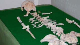 Blodwen's bones laid out on a table