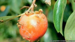 Fruit flies on a piece of fruit