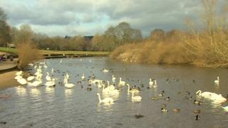 Swans on the River Wear at Chester-le-Street