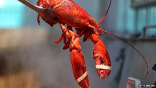 A steamed lobster is pulled from a pot.