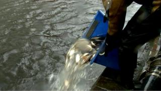 Fish being tipped from a bucket