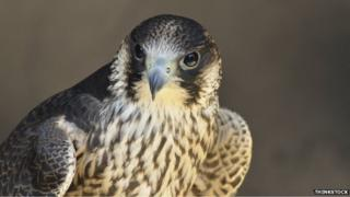 generic peregrine falcon