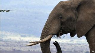Photo taken on November 18, 2010 shows a male elephant grazing at the Lewa Wildlife Conservancy, based in Isiolo, where Britain's Prince William and his girlfriend Kate Middleton were staying before the engagement while on holiday in Kenya last month.