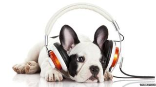 A puppy mournfully listens to headphones