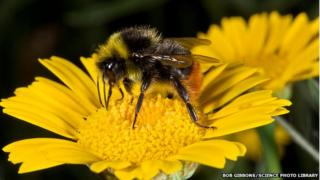 Bumblebees are declining in the UK