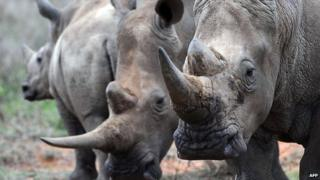 A family of White-Rhinos is seen on August 7, 2014 at the Ol Jogi rhino sanctuary, in the Laikipia county, approximately 300 kilometres north of the Kenyan capital, Nairobi.
