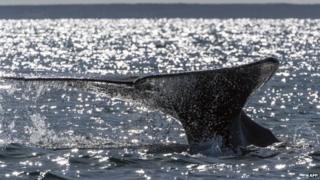 A grey whale (Eschrichtius robustus) dives into the Ojo de Liebre Lagoon in Mexico on 3 March, 2015.