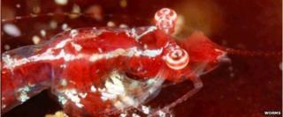 Mysid shrimp